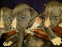 Puppies are 5 weeks today Dec 5th. I am showing and