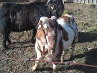 100% spotted paint Boer buck. Registered ABGA. 1 1/2