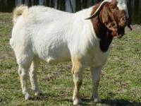 Gorgeous traditional colored boer buck. Has 5