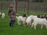 ABGR Boer Goat Does- 6 to 8 months old- Will be ready