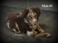 Registered Working Stock Border Aussie pups for sale.