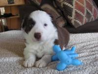 Stunning reg. female perimeter collie available. She's