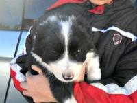 8 week old border collie puppies. They are all set for