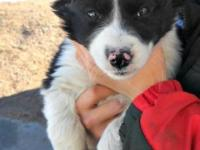 8 week old border collie young puppies. They are ready