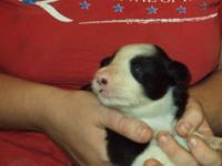 I have a beautiful litter of 5 Border Collie puppies. 1