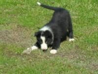 I presently have 3 lovely male border collie puppies