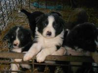 A litter of Border Collies can be registered through