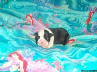 These Boston Terrier puppies are UKC and CKC