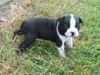 I have two cute five week old little Boston Terrier