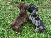 Beautiful multicolored mini dachshund puppy. Red and