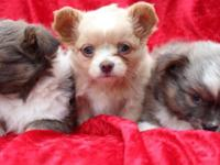 Chihuahua young puppies available$450.00 CKC registered