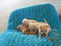 5 lovable chihuahua puppies for sale. 3 ladies and 1
