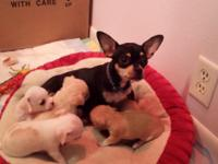 5 cute chihuahua young puppies for sale. 3 ladies and 2
