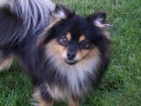 Sweet beautiful female Pomeranian looking for a new