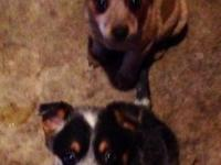 Registered Red and Blue Heeler Puppies Red Female-$350
