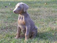 CKC Purebred Doberman Pinscher Puppies. 2 fawn/tan, 2