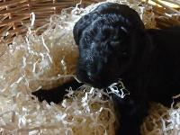 Registered CKC purebred Standard Poodle puppies, black