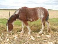 For sale Registered 5 year old Clydesdale mare in foal