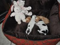 Two male and 2 female puppies. 250.00 holds your young