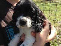 Beautiful Cocker Puppies born Jan 31, UTD on