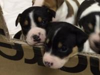 Purebred Decker Rat Terriers. Dual registered with the