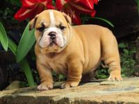 Beautiful English Bulldog Puppies for re-homing. two