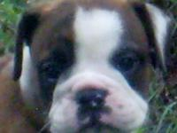 ENGLISH BULLDOG REGISTERED PUPS for Sale in Mount Olive, North