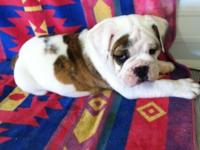 I have a male English bulldog new puppy that actually