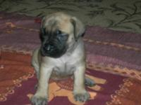 Registered English Mastiff puppies for sale ready for