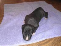 English Pit Bull 1 female black and white (white tip on