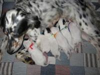 Gorgeous English Setter young puppies from leading