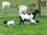 Description Animal Type: Myotonic/Fainting Goat We are
