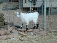 I am a breeder of Fainting Goats through the Myotonic