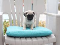 Registered Fawn Pug Puppies - We also have black Pug