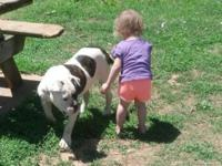 Beautiful 11 month old female American Bulldog. Shots