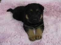 attractive large boned full body german shepherd puppy.