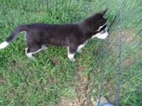 Last of her litter! Female Siberian husky puppy. Born