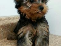 Doll faced teacup female Yorkie. Lil Sis is 1 1/2 lbs.