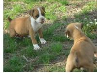 Lovely Flashy Registered Fawn Boxer Puppy. Tail docked,