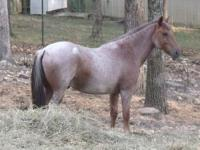 """Lady"", Mare, Blue Roan, 16hh, 12yrs, Registered"