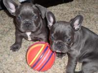 Registered French Bulldog puppies. Color carriers. 1