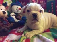 Registered male french bulldog young puppy all set for