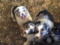 Full size registered Australian Shepherd puppies, males