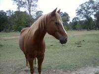 Beautiful registered Q/H Gelding, loads well, current