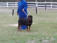 I will have a litter of registered german rottweiler