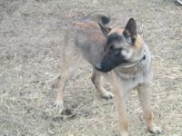 I have an beautiful German Shepherd dog for sale for