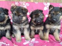 These stunning males are plush coat and are west German