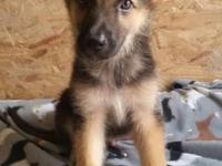 Here is your opportunity to own a wonderful puppy with