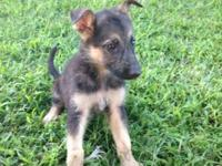 Ica registered German shepherd young puppies! All set