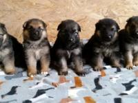 These puppies were born May 17, 2015. They will be